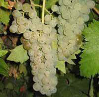 vinske sorte Lozni kalemovi Bela Tamjanika