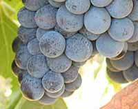 Wine Varieties VINE GRAFTS PLOVDINA (SLANKAMENKA):