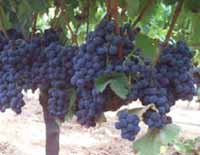 TABLE VARIETIES OF VINE GRAFTS RUBEL