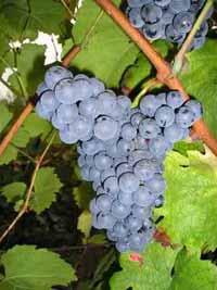 Wine Varieties VINE GRAFTS VRANAC