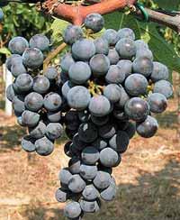 Wine Varieties VINE GRAFTS MERLOT