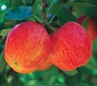 Voćne sadnice - jabuka gala