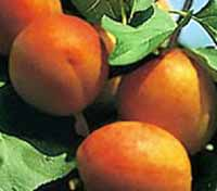 Seedlings of APRICOT - HUNGARIAN BEST