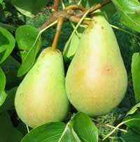 Seedlings of PEAR - BUTIRRA (MORETTINI EARLY)