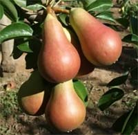Seedlings of PEAR - CARMEN