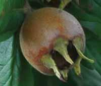 Voćne sadnice mušmule Domaća