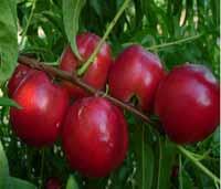 Voćne sadnice - nektarina kaldezi