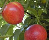 Voćne sadnice - nektarina majska vatra