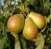 Seedlings of  PEAR - SANTA MARIA