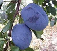 Seedlings of PLUM - ČAČANSKA NAJBOLJA