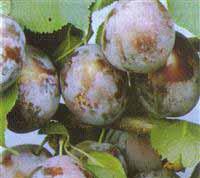 Seedlings of PLUM - ČAČANSKA RODNA