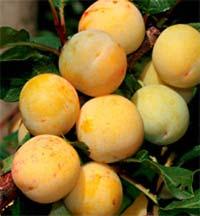 Seedlings of PLUM – RUSSIAN CHERRY PLUM