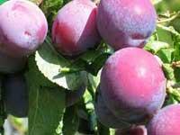 Seedlings of PLUM – RUTH GERSTETTER