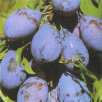 Seedlings of PLUM - STANLEY