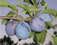 Seedlings of PLUM - TIMOČANKA