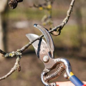 rezidba vocnih stabala