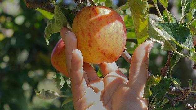 berba jabuke