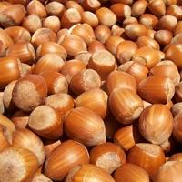Seedlings of HAZELNUT - ENNIS