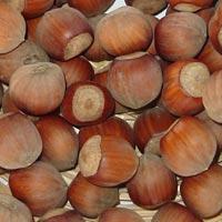 Seedlings of HAZELNUT - TONDA DI GIFFONI