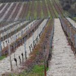 otpornost vinove loze
