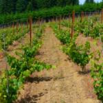 radovi u vinogradu