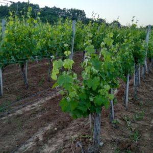 zemljiste u vinogradu